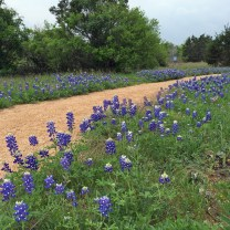 Bluebonnets by path
